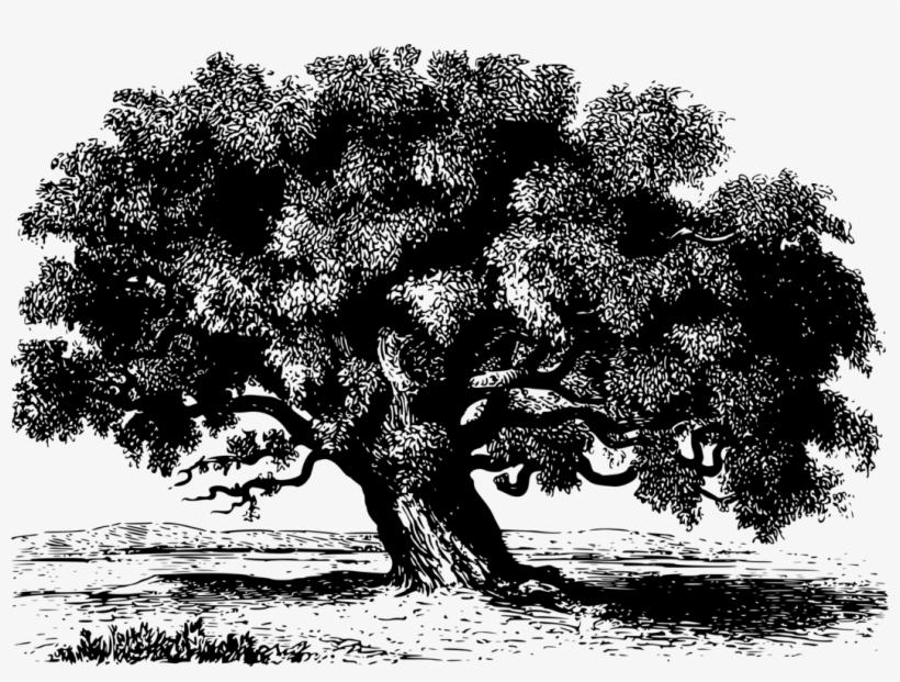 Tree Tamarind Branch Black And White Shrub.