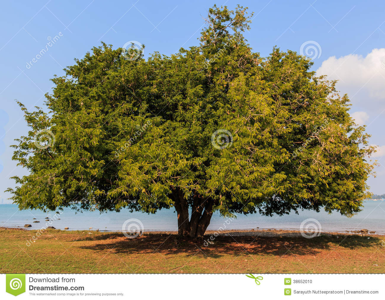 Tamarind Tree Stock Photos, Images, & Pictures.