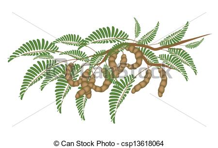 Clip Art Vector of Fresh Brown Tamarind Pods on Tree Branch.