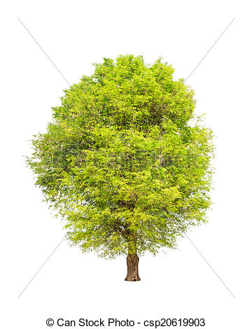 Stock Photography of Tamarind tree (Tamarindus indica) tropical.