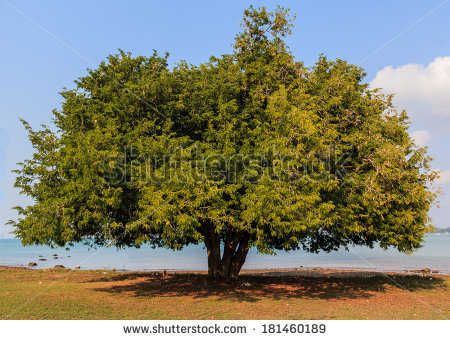 Tamarind Tree Stock Images, Royalty.