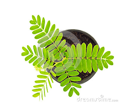 Tamarind (Tamarindus Indica) Stock Photos.