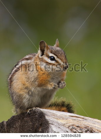 Chipmunk up in a pine tree clipart.