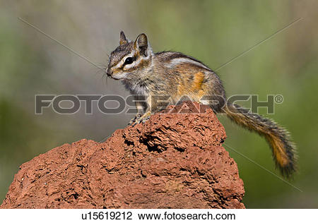Stock Photo of Least chipmunk (Tamias minimus) perched on rock in.