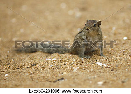 Stock Images of Chipmunk (Tamias), Mount Lavinia, Western Province.