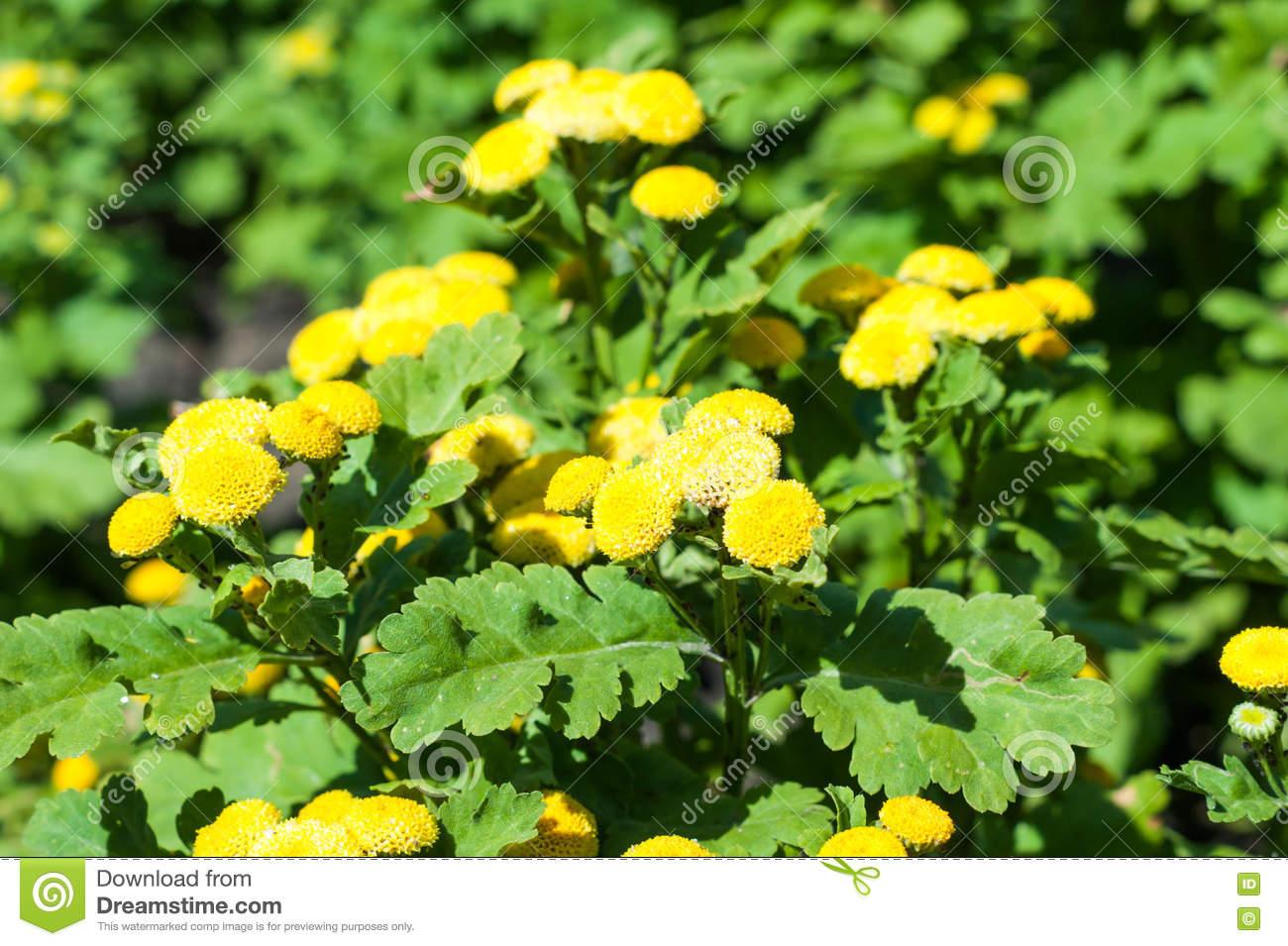 Wild Medicinal Plants In Siberia Tansy (Tanacetum Vulgare Latin.
