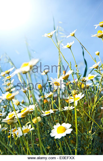 Flower Chamomile Feverfew Stock Photos & Flower Chamomile Feverfew.