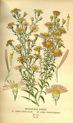 Erigeron pulchellus (Robin's plantain).
