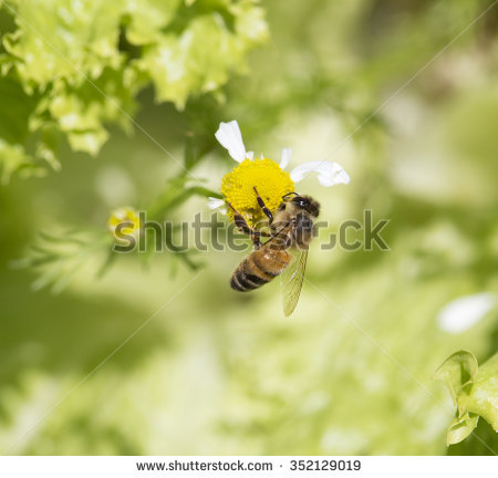 Nosebleed Plant Stock Images, Royalty.