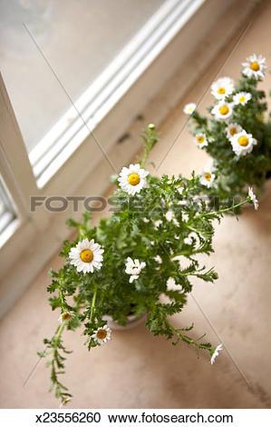 Stock Photography of Feverfew (Tanacetum parthenium) flowers on.