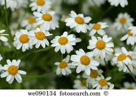 Feverfew Stock Photos and Images. 215 feverfew pictures and.