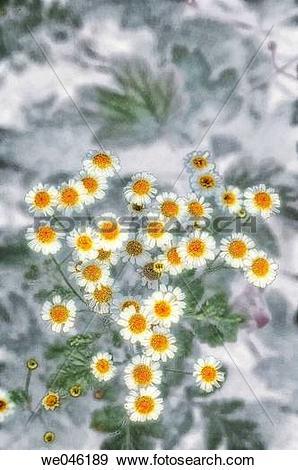 Stock Photograph of Feverfew in Bloom. Tanacetum parthenium.