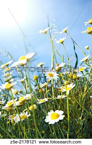 Stock Photography of Low angle shot of feverfew (Tanacetum.