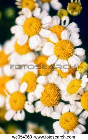Stock Photography of Feverfew. Tanacetum parthenium. August 2005.