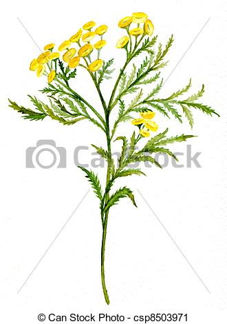 Clipart of Tansy csp8503971.