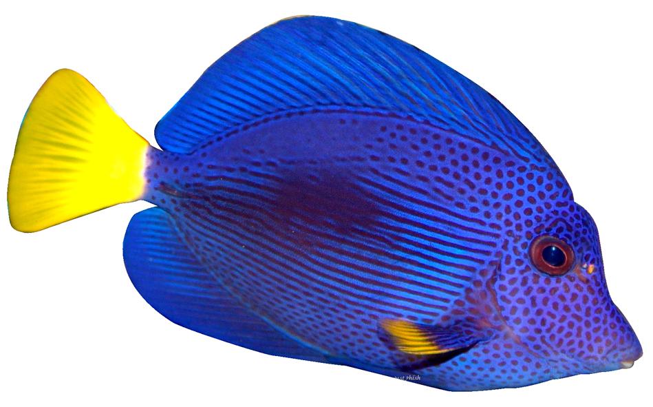 Tang Fish Clipart.