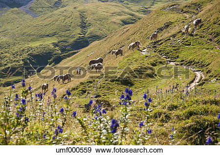 Stock Photograph of Austria, Horses standing on meadow in Tannheim.