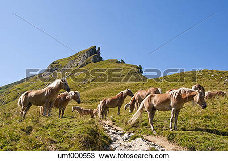 Stock Photo of Austria, Horses standing on meadow in Tannheim Alps.
