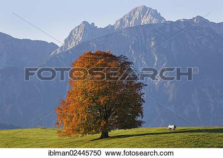 "Stock Photography of ""Autumnal Beech (Fagus sylvatica), Tannheim."