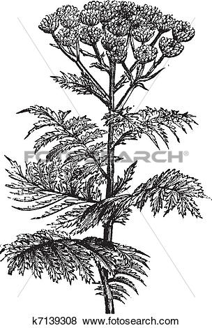 Clip Art of Tansy (Tanacetum vulgare) or Common Tansy, vintage.