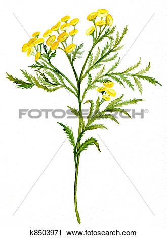 Clipart of Tansy k8503971.