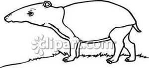Black and White Tapir.