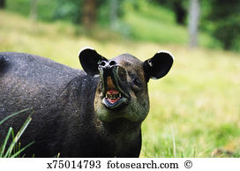 Tapir Stock Photo Images. 649 tapir royalty free images and.