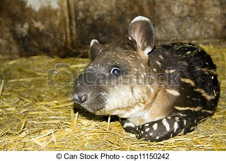 Stock Photo of Young tapir.