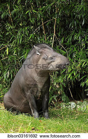 "Stock Photo of ""South American Tapir (Tapirus terrestris) adult."