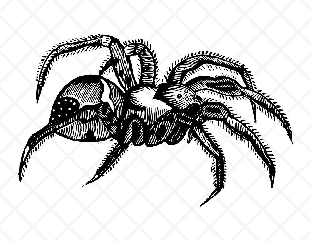 Tarantula Illustration.