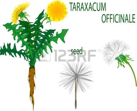 387 Taraxacum Stock Illustrations, Cliparts And Royalty Free.