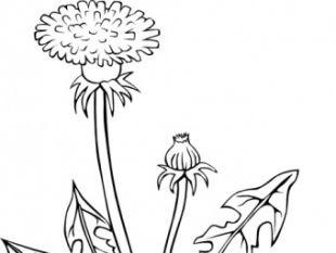 Ku Taraxacum Officinale Outline clip art.