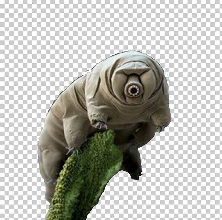Tardigrade Bear Micro.
