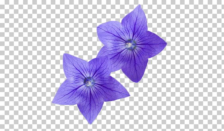 Flor platycodon, flores moradas PNG Clipart.
