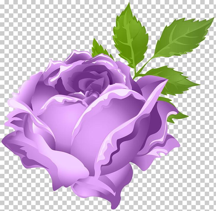 Flor morada, rosas de jardín rosas centifolia púrpura, rosa.
