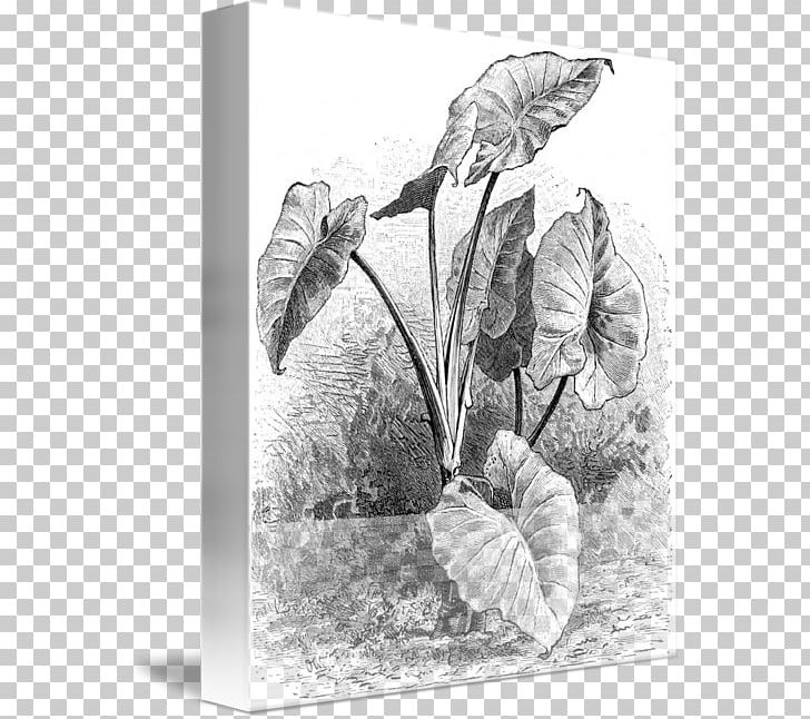 Drawing Taro Cuisine Of Hawaii Plant PNG, Clipart, Art.