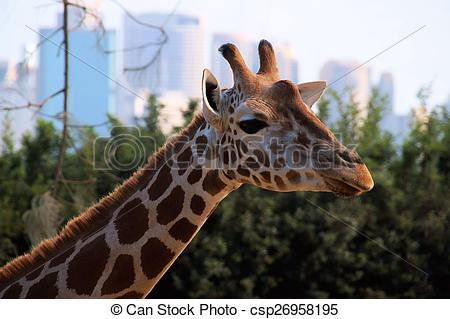 Stock Photographs of Giraffe at Taronga Zoo..