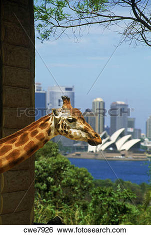 Stock Images of Giraffe at Taronga Zoo with Opera House and Sydney.