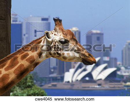 Stock Image of Giraffe at Taronga Zoo with Opera House and Sydney.