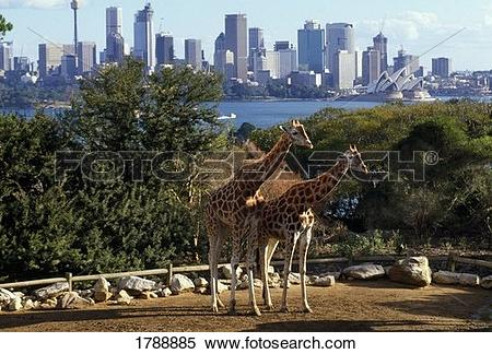 Stock Image of Giraffes at the Taronga Zoo 1788885.