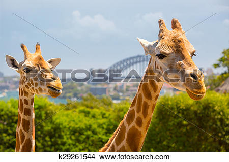 Stock Photo of Taronga Zoo Giraffes k29261544.