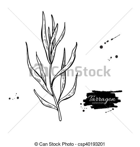 Vector Clipart of Tarragon vector hand drawn illustration.