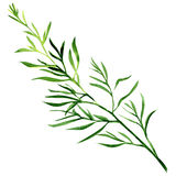 Fresh Tarragon Herb Royalty Free Stock Photography.