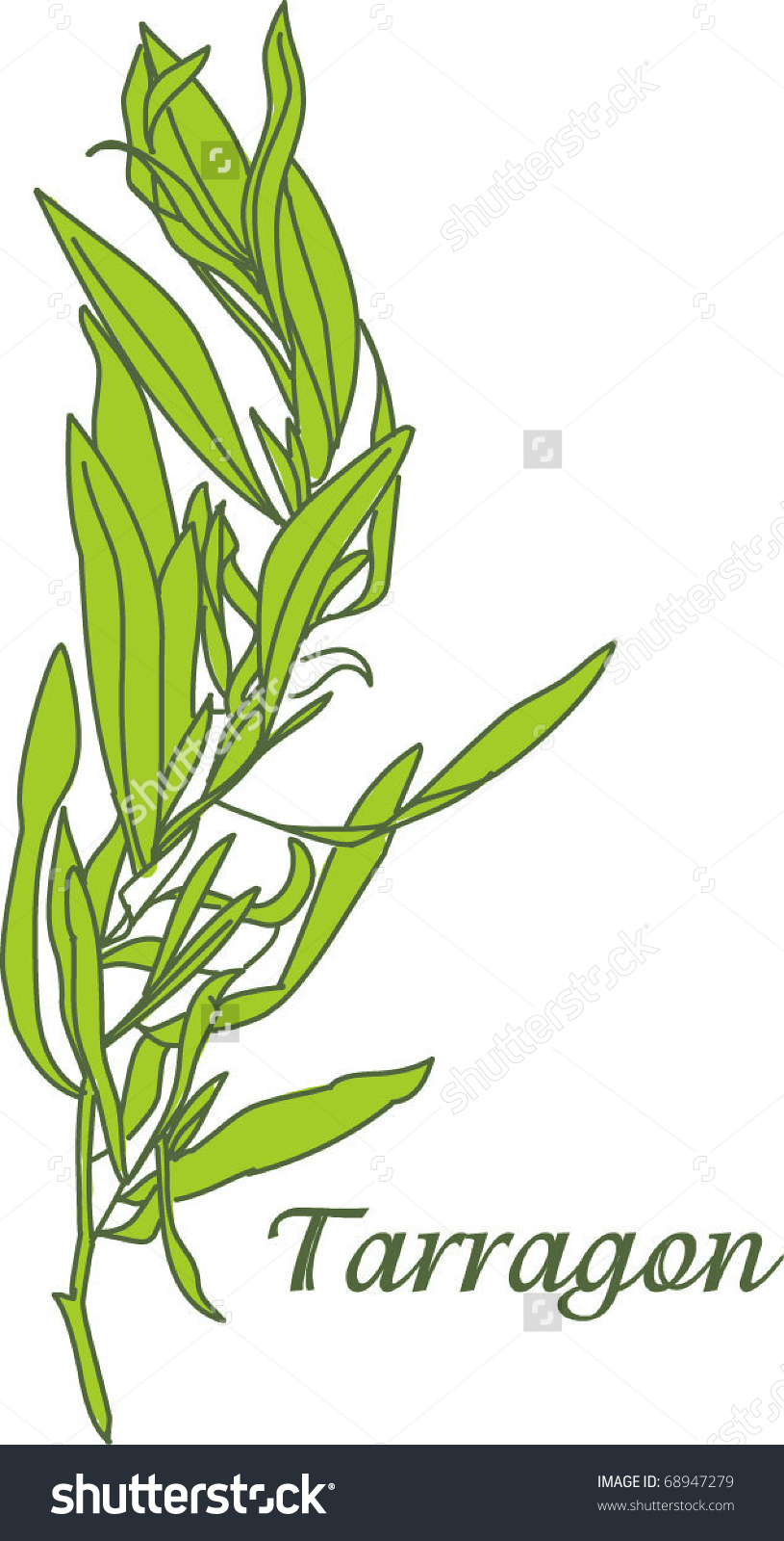 Tarragon Herb Stock Vector 68947279.