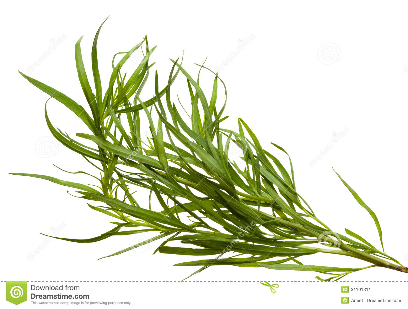 Tarragon Royalty Free Stock Image.