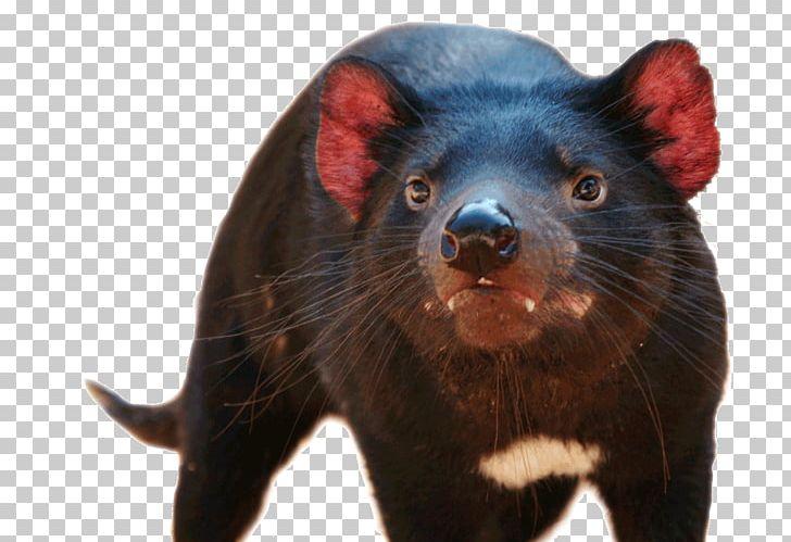 Tasmanian Devil National Zoo & Aquarium Wombat Dingo PNG.