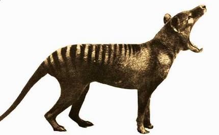 1000+ images about Tasmanian Tigers on Pinterest.