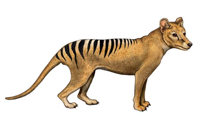Brain Scans Show Tasmanian Tigers Were Smart, But That Still Didn.