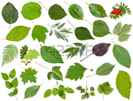 Acer Isolated Stock Photos & Pictures. Royalty Free Acer Isolated.