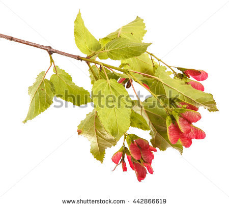 Watercolor Realistic Detailed Painting Bright Branch Stock.